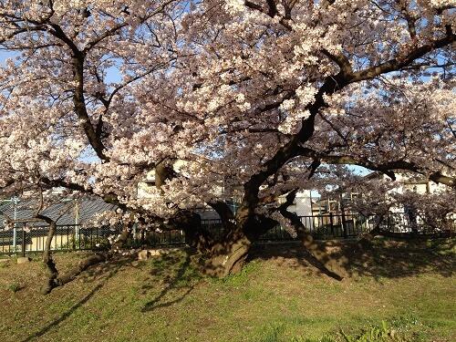 高槻市のお花見スポット。芥川沿いの桜堤公園が穴場です。 | 今日もプチ感動!